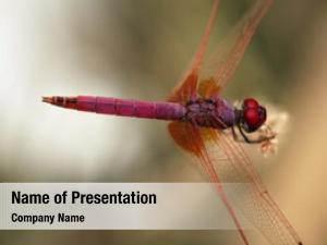 Trithemis purple dragonfly, aurora, dropwing