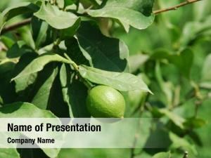 Lime lime growing tree greek