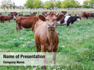 Springtime grazing herd cattle
