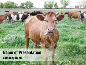 Herbivorous grazing herd cattle