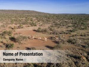 Giraffes aerial photo african savannah