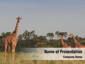 African giraffes wild savannah landscape