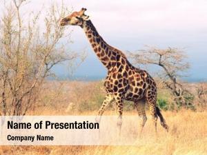 (giraffa maasai giraffe camelopardalus) savannah