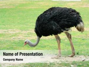 Savanna wild ostrich