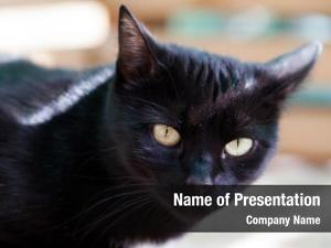 Hiding black cat focus eyes