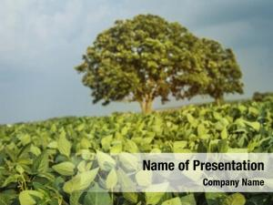Shallow field soybeans, focus, focus
