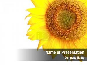 Yellow vivid sunflower sunflower white