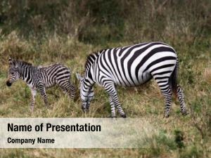 (equus grevy zebra grevyi), sometimes