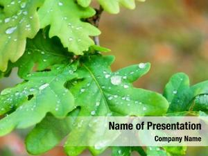 Leaves raindrops oak