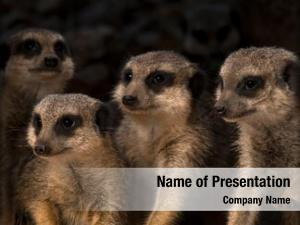 Meerkats, close up mob suricata suricatta