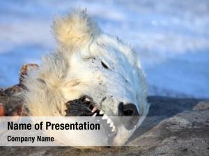 Polar head dead bear â??