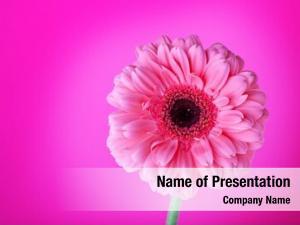 Flower pink gerbera pink gradient