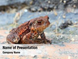 Toad juvenile common european toad