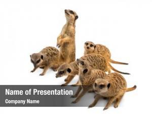 Suricata meerkats mob, suricatta, white