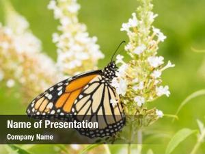 Butterfly female monarch white butterfly