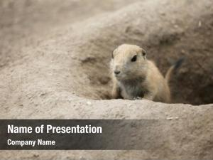 Looking prairie dog out hole