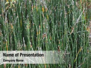 Grass, equisetum bamboo pipeweed, puzzle