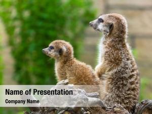 Meerkats in the zoo