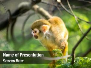 Branch squirrel monkey