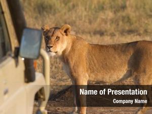 Wildlife african lion