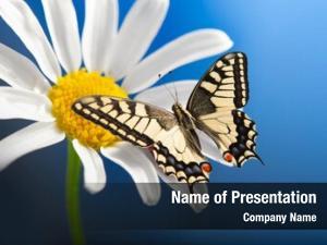 Open machaon butterfly wings wild