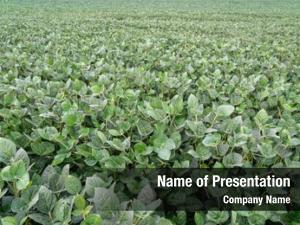 Soybean field green plants farming