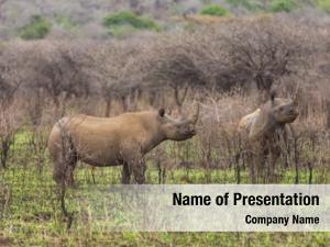 Rhinos two black african grassland