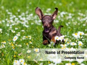 Dachshund puppy jumping in the meadow with daisies