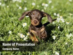 Dachshund puppy jumping
