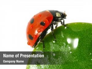 Leaf ladybird green