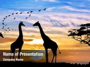 Sunset giraffes african