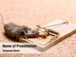 Trap mouse mouse