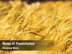 Wheat golden ripe field, agricultural