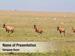 Maasai topi seen mara national