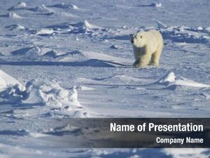 Walking polar bear snow yukon