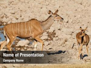 Antelope kudu impala waterhole, etosha