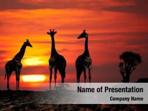 Savanna giraffes african sunset