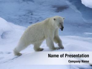Polar norway spitsbergen bear snow