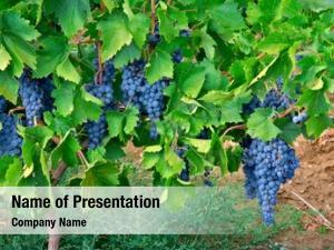 Vineyard cluster grapes