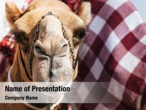 Camel portrait shot dubai camel