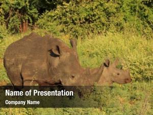 Mother white rhinoceros, calf