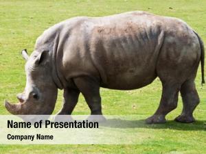 Grazing white rhinoceros green grass