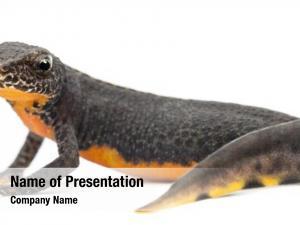 Ichthyosaura alpine newt, alpestris, formerly