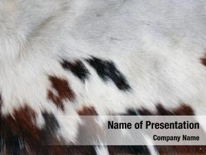 100% section genuine cow hide