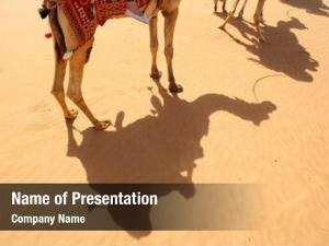 Arabian shadows camels desert, dubai,