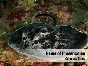 Blotched marbled ray fantail ray