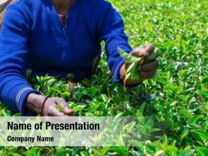 Picker female tea tea plantation