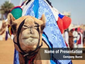 Camel portrait shot