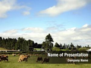 Paddock cow grazing