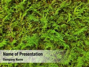 Symbol green thujahecke, photo privacy,